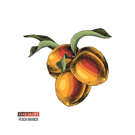 Hand drawn peach fruits Foto de archivo - 115057481