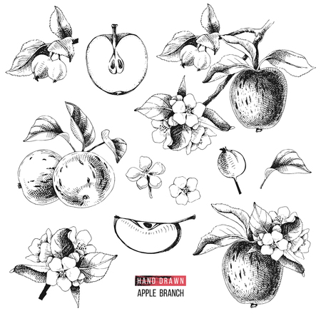 Apple fruit vector set. Hand drawn black and white vector illustration