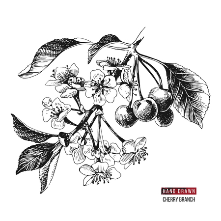 Hand drawn cherry branch with flowers and ripe cherries. Vector illustration