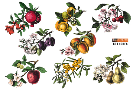 Fruit trees branches - pomegranate, mandarine, cherry, plum, peach, apple, sea buckthorn and pear - with flowers and ripe fruits. Vector illustration Çizim