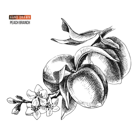 Hand drawn peach branch with flowers and ripe fruits. Vector illustration