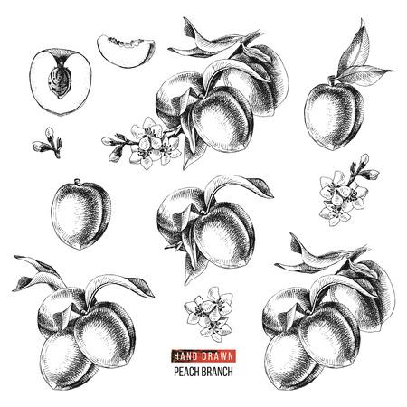 Conjunto blanco y negro de frutos de melocotón dibujados a mano, ramas, flores y trozos en rodajas. Ilustración vectorial