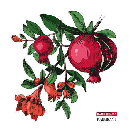 Colorful hand drawn pomegranate branch with flowers and fruits. Vector illustration Illustration
