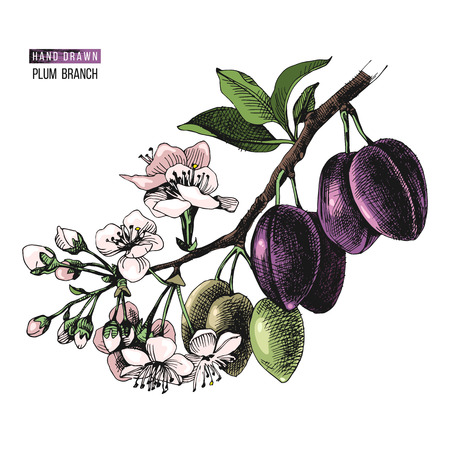 Colorful hand drawn plum branch with flowers and ripe fruits. Vector illustration