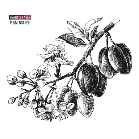 Hand drawn plum branch with flowers and ripe fruits. Vector illustration Vetores