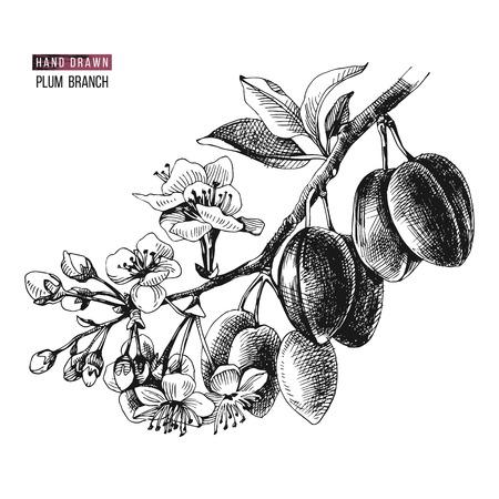 Handgezeichneter Pflaumenzweig mit Blumen und reifen Früchten. Vektor-Illustration Vektorgrafik