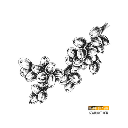 Hand drawn black and white sea buckthorn branch. Vector illustration