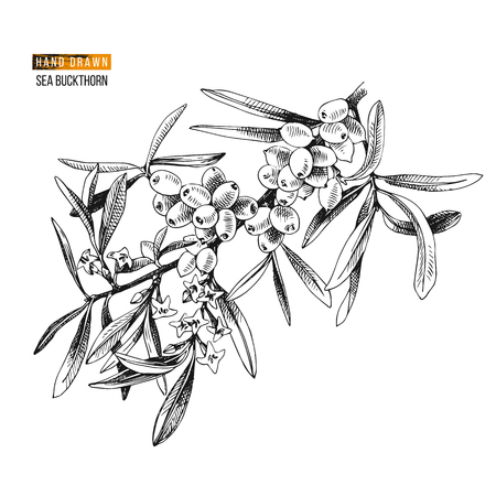 Hand drawn sea buckthorn branch with flowers and berries. Vector illustration