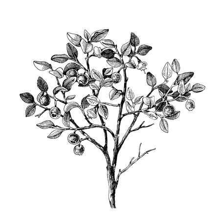 Buisson de myrtille dessiné à la main avec des fleurs et des baies mûres. Illustration vectorielle