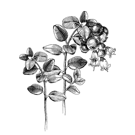 Hand drawn cowberry branches with flowers and ripe berries. Vector illustration Vetores