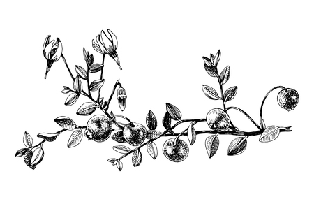 Plante de canneberge dessinée à la main Vecteurs