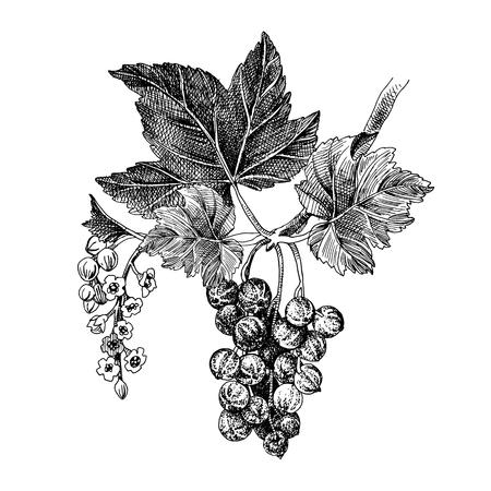 Handgezeichneter roter Johannisbeerzweig mit Blättern und Blumen. Vektor-Illustration