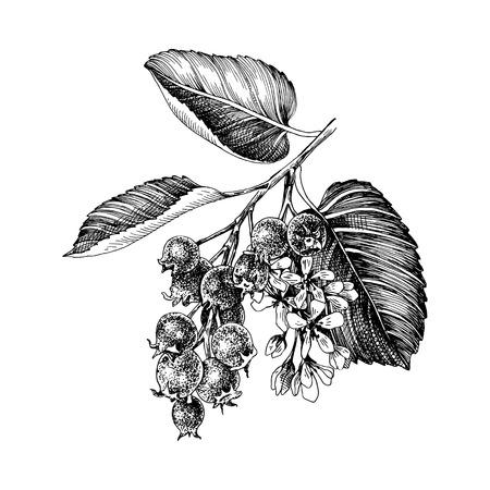 Hand drawn branch of shadberries. Vector illustration