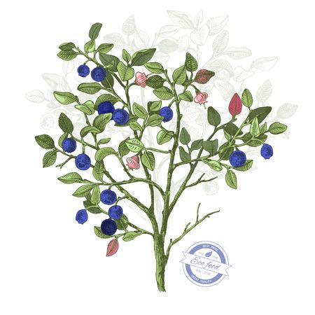 Handgezeichneter bunter Heidelbeerbusch mit Blumen und reifen Beeren. Vektorillustration