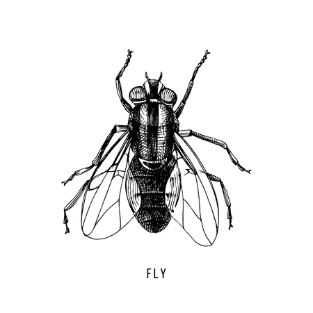 Hand drawn fly on white background. Vector illustration.