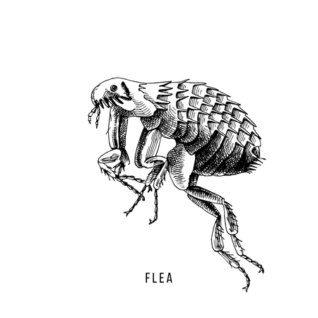 Handgezeichneter Floh auf weißem Hintergrund. Vektor-Illustration Vektorgrafik