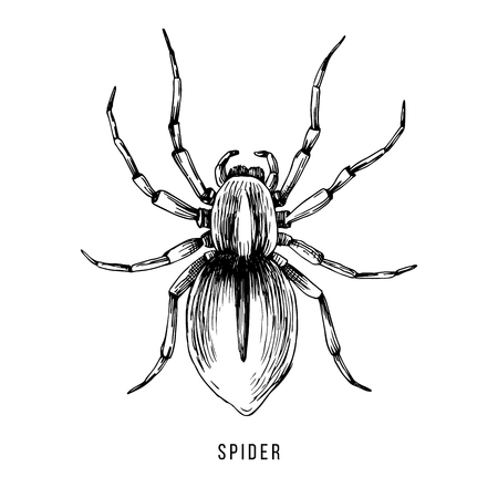 Hand drawn Brazilian spider illustration