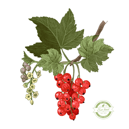 Hand drawn red currant branch with leaves and flowers. Vector illustration Çizim
