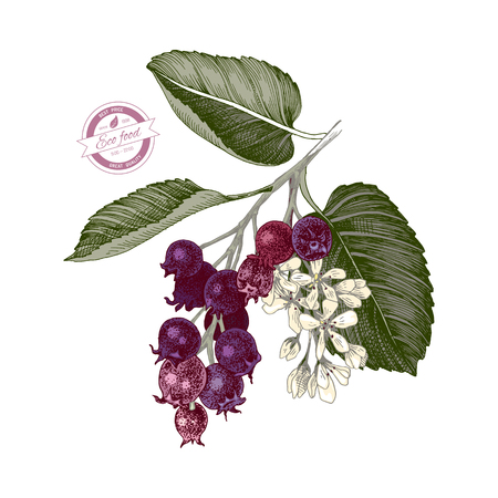 Hand drawn colorful branch of shadberries. Vector illustration