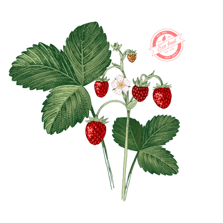 Hand drawn colorful wild strawberry plant with ripe berries, flowers and leaves. Vector illustration