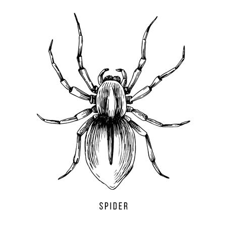 Hand drawn Brazilian spider illustration
