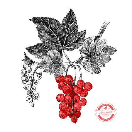 Hand drawn red currant branch with leaves and flowers. Vector illustration Illustration