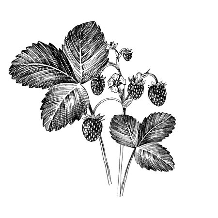 Hand drawn wild strawberry plant with ripe berries, flowers and leaves. Vector illustration