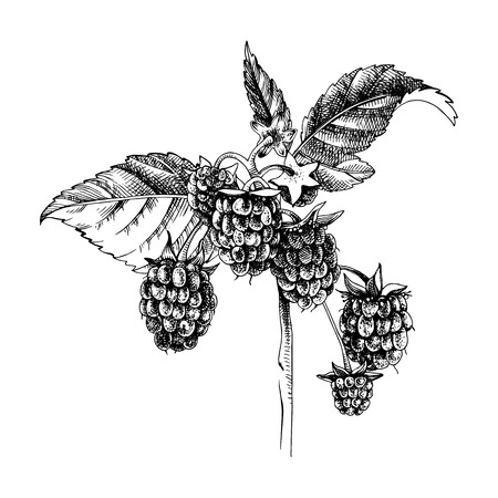 Hand drawn raspberry branch with berries and leaves. Vector illustration