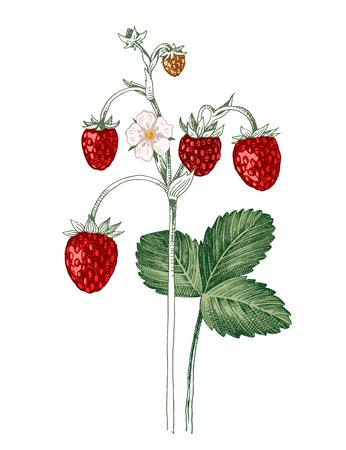 Fraisier sauvage dessiné à la main avec des baies mûres, des fleurs et des feuilles. Illustration vectorielle Vecteurs