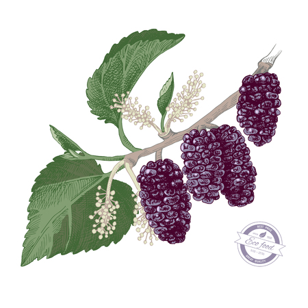 Hand drawn colorful mulberry branch with flowers and ripe berries. Vector illustration Illustration