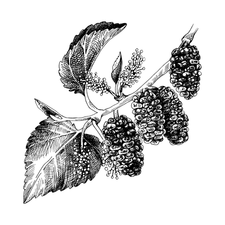 Hand drawn mulberry branch with flowers and ripe berries. Vector illustration Фото со стока - 116877603