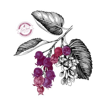 Rama dibujada a mano de shadberries. Ilustración vectorial