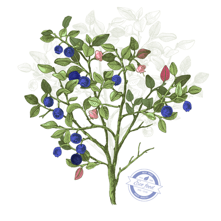Hand drawn colorful bilberry bush wih flowers and ripe berries. Vector illustratration
