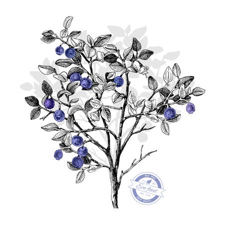 Cespuglio di mirtilli disegnato a mano con fiori e bacche mature. Illustrazione vettoriale