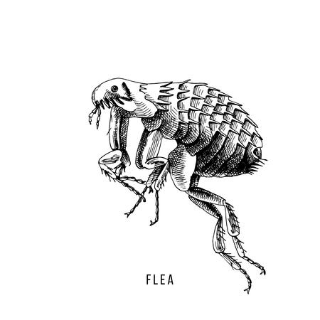 Hand drawn flea on white background. Vector illustration  イラスト・ベクター素材
