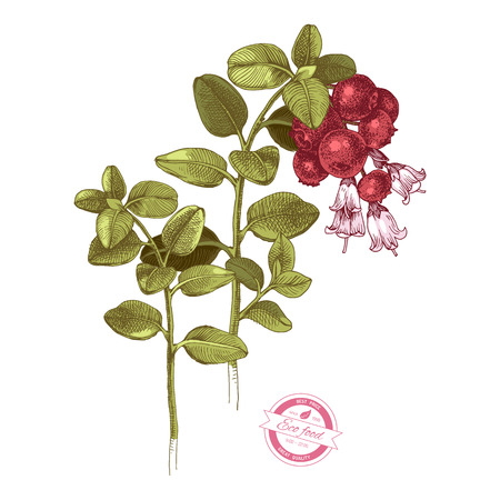 Hand drawn colorful cowberry branches with flowers and ripe berries. Vector illustration