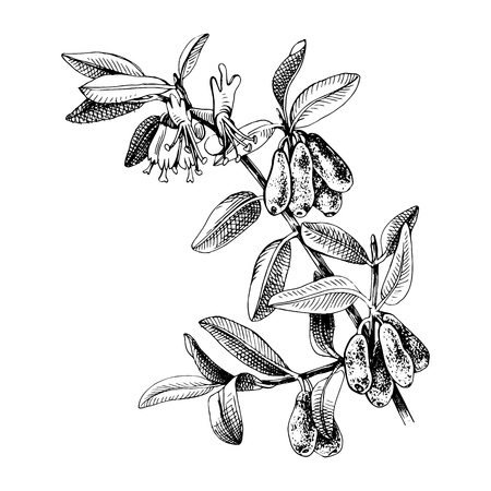 Hand drawn honeysuckle branch