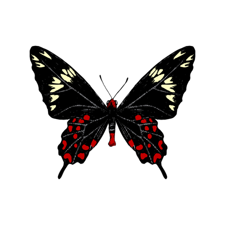 Hand drawn Crimson Rose butterfly butterfly. Vector illustration  イラスト・ベクター素材