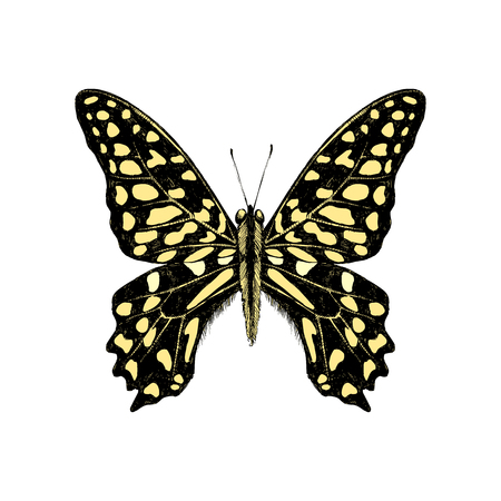 Hand drawn Tailed Jay Butterfly - Graphium agamemnon Çizim