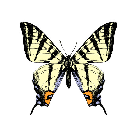 Colorful hand drawn western tiger swallowtail butterfly. Vector illustration