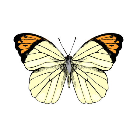 Colorful hand drawn Great Orange Tip - Hebomoia glaucippe - butterfly. Vector illustration