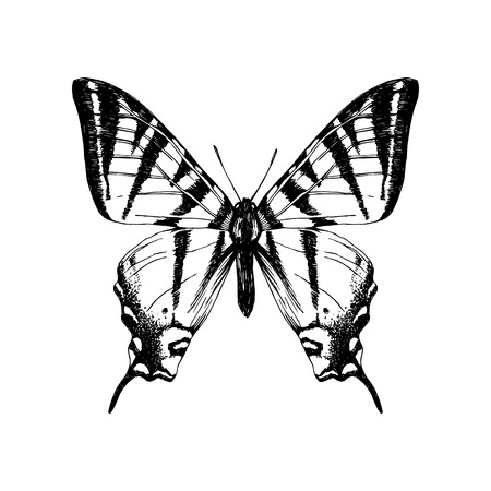 Hand drawn western tiger swallowtail butterfly Stock Illustratie
