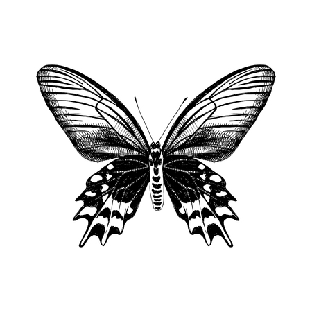 Hand drawn Antropaneura Semperi butterfly Çizim