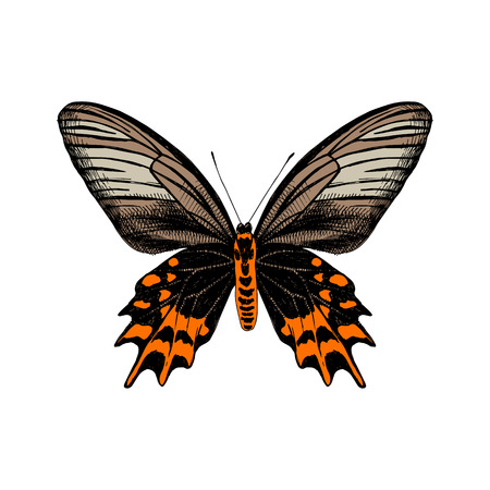 Colorful hand drawn Antropaneura Semperi butterfly. Vector illustration