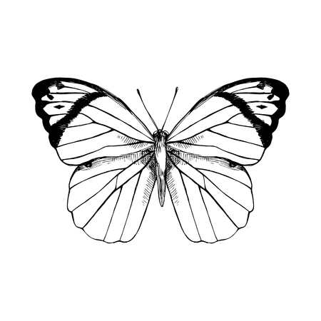 Hand drawn Great Orange Tip - Hebomoia glaucippe - butterfly. Vector illustration