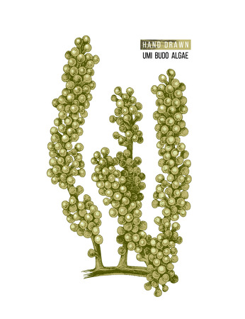 Hand drawn colorful Sea grapes or Umi Budo algae isolated on white background. Vector illustration  イラスト・ベクター素材