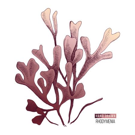 Algues rhodymenia palmata colorées dessinées à la main isolées sur fond blanc. Illustration vectorielle