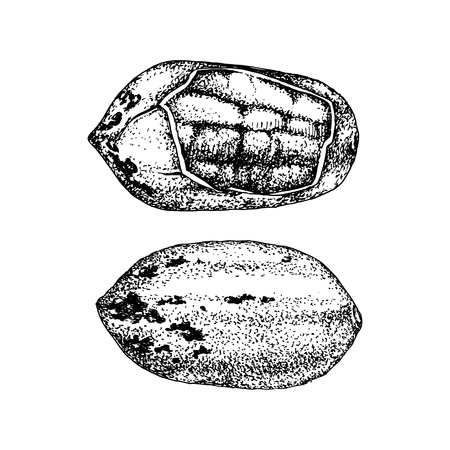 Hand drawn pecan nuts. Иллюстрация