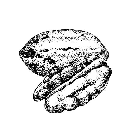 Hand drawn pecan nuts. Illustration