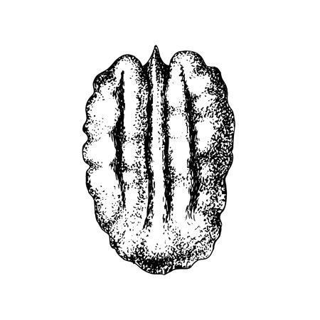 Hand drawn pecan nut. Ilustrace